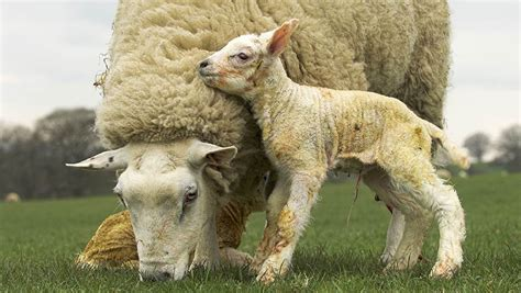13 tips for lambing outdoors - Farmers Weekly