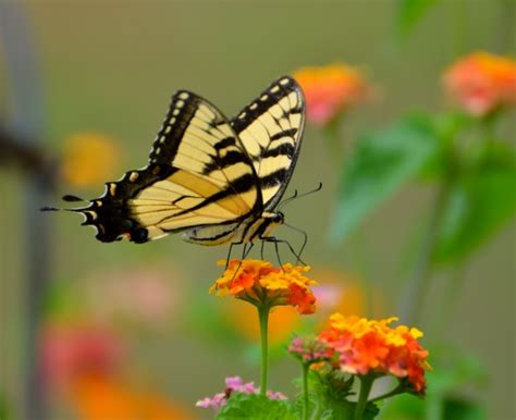 Tiger Swallowtail Butterfly Free Stock Photo - Public