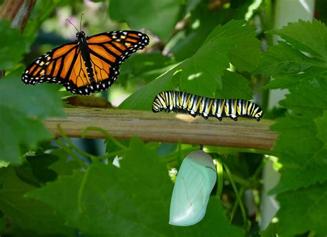 Butterfly Life Cycle Free Stock Photo - Public Domain Pictures