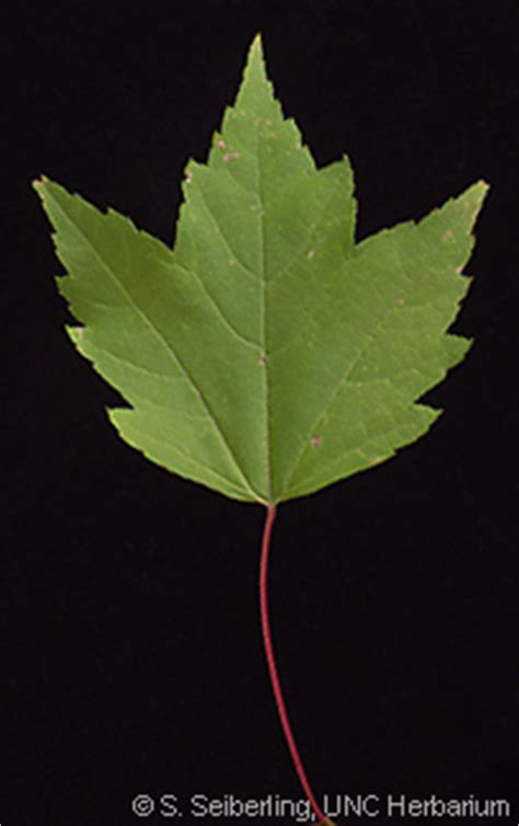 Common Trees of the North Carolina Piedmont - Acer rubrum