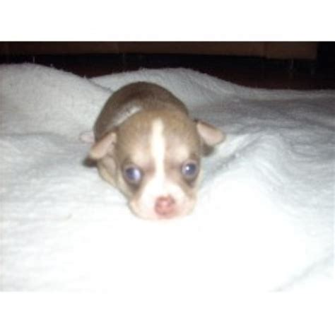 Dream Pups Kennel, Chihuahua Breeder in Naples, Florida