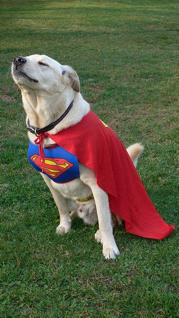 Top 10 Labrador Halloween Costumes That Are Just Too Cute